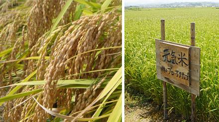 おさだ農場 元氣米 有機農法
